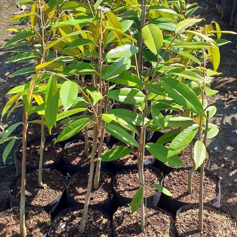 Bibit Durian Montong Super jumbo Kalimantan Timur