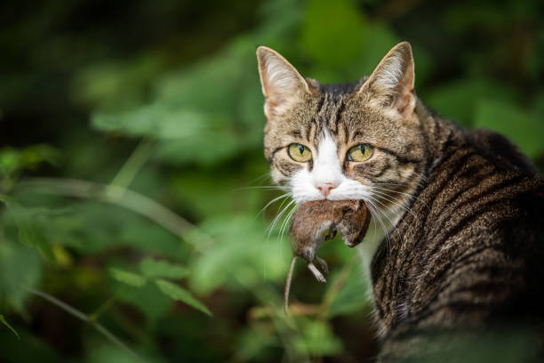 Cats and Hunting - How They Learn to Do It