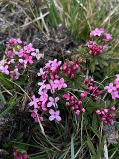 [Thymelaeaceae] Daphne cneorum – Garland flower.