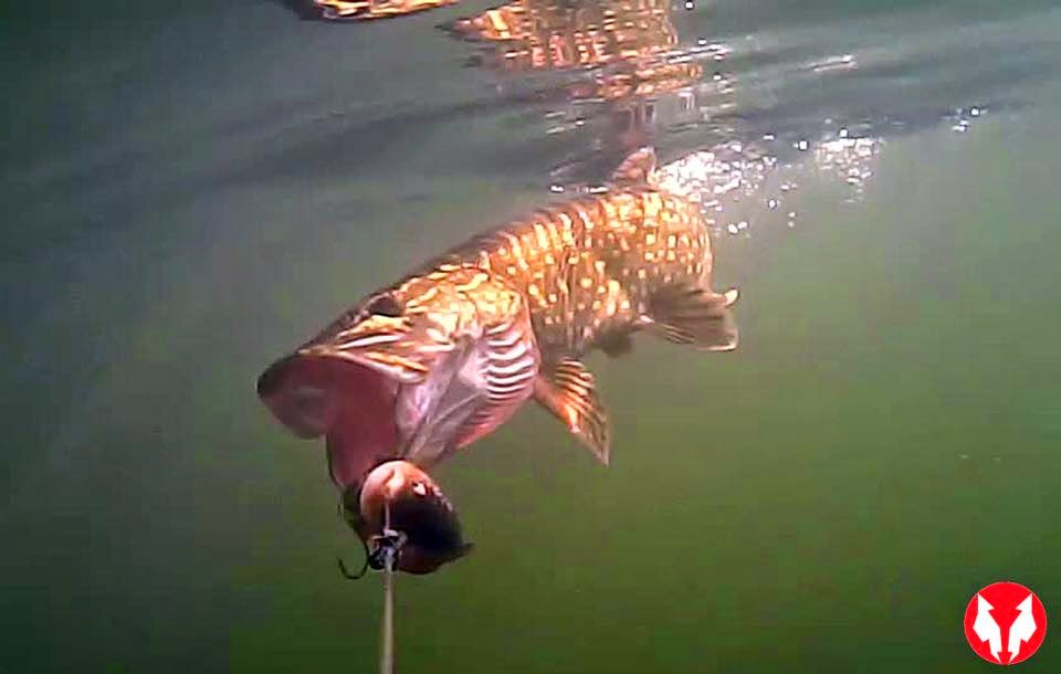 Water Wolf Under Water HD Camera
