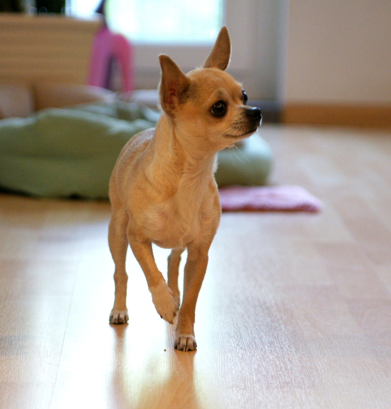 Собаки: Чихуахуа