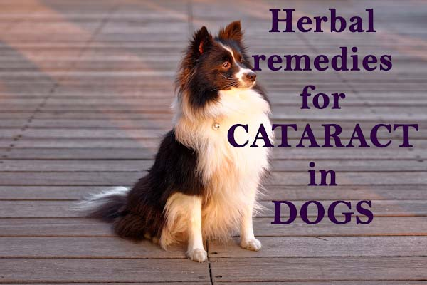 Herbal remedies for cataracts in dogs