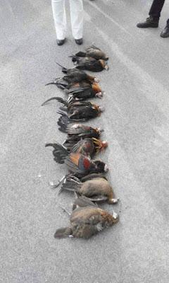 ayam kampung langgar kaca kilang, ayam gila, ayam mati di tangkak