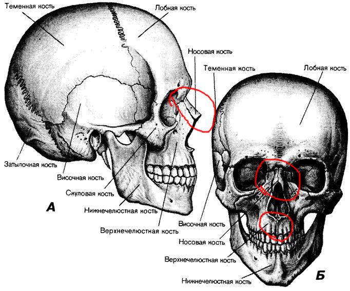 рецепты картинка кости лица имени