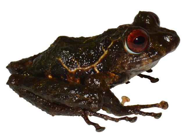 David Brito y Carolina Reyes, investigadores de la USFQ, descubren una nueva especie de rana y la bautizan en honor a la banda Led Zeppelin