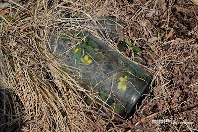 割れた瓶が温室代わりミツバツチグリ ≪a type of Potentilla≫