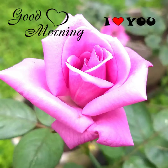 good morning rose flowers