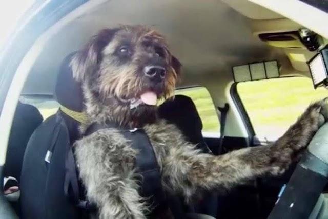 """Após bater o carro, mulher não faz bafômetro e alega que cachorro dirigia o veículo"""""""