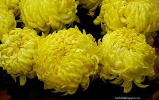http://fotobabij.blogspot.com/2015/04/chryzantema-wielkokwiatowa_13.html