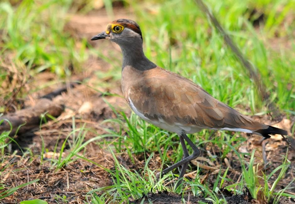 Brown chested lapwing