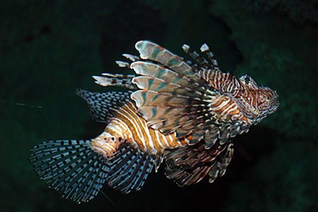 ff2e069f726 Al no ser una especie nativa, el pez león es especialmente peligrosa para  el ecosistema, porque los peces originarios del Atlántico no tienen ese  instinto ...