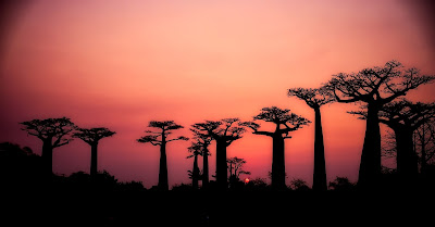 baobab trees and ancient migration