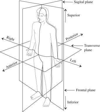 Anatomy and Physiology I Coursework Anatomical Position and Directions - anatomical position