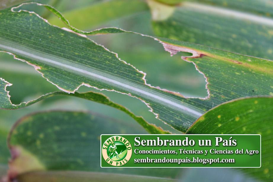 hojas de maíz atacadas por grillos