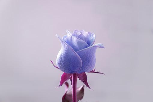 أحلى الورود ورق حائط 18