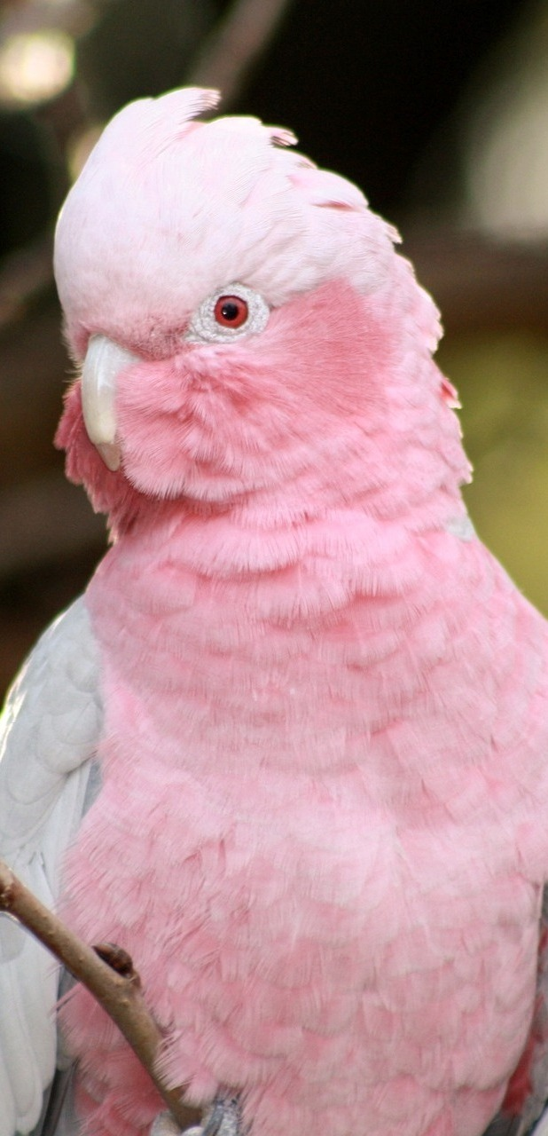 Picture of a galah.