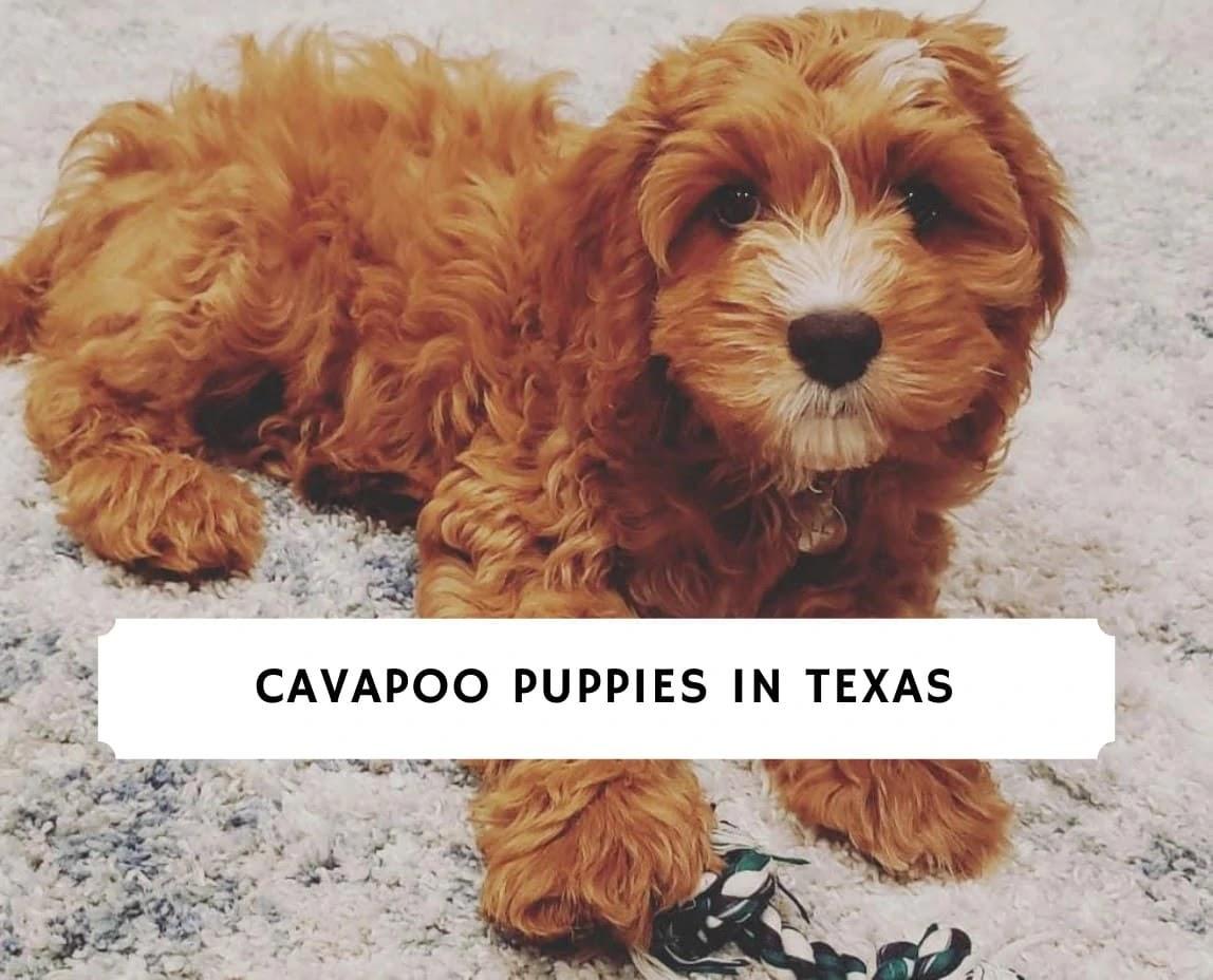 Cavapoo Puppies in Texas