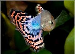 jenis ikan Guppy Fantail