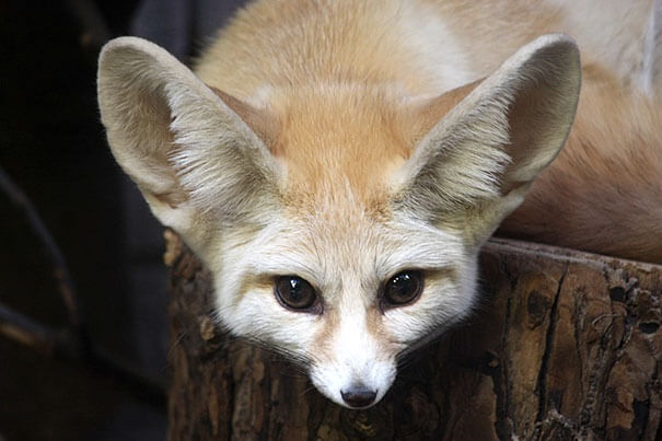 Vegan Woman Made Her Fennec Fox Become Vegan, And Here Are The Results