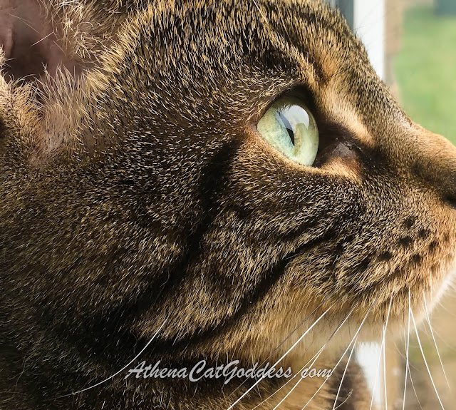 close up profile of tabby cat with big green eyes