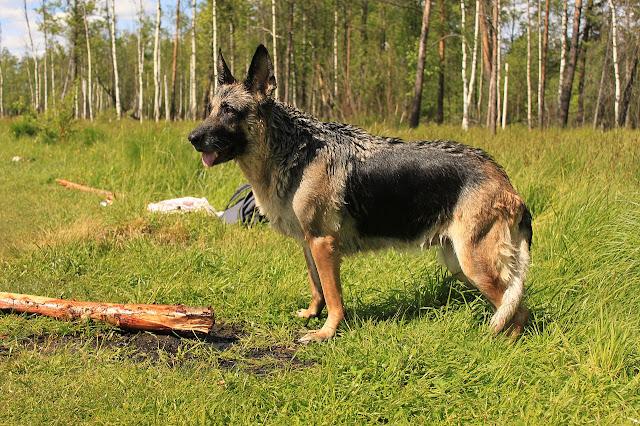 Problèmes de dos incliné chez les bergers allemands