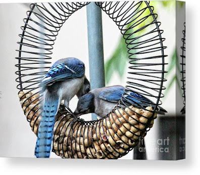 This is a screen shot of one of my images of Blue Jays which has been rendered on to canvas and is available in different sizes via Fine Art America. https://fineartamerica.com/featured/blue-jays-wooing-1-patricia-youngquist.html?product=canvas-print