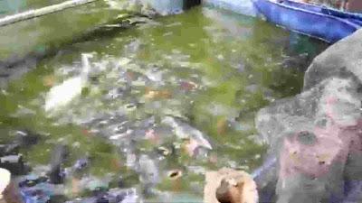 tips orang bisa sukses pelihara ikan patin di kolam yang tidak perlu banyak modal tapi bisa berhasil