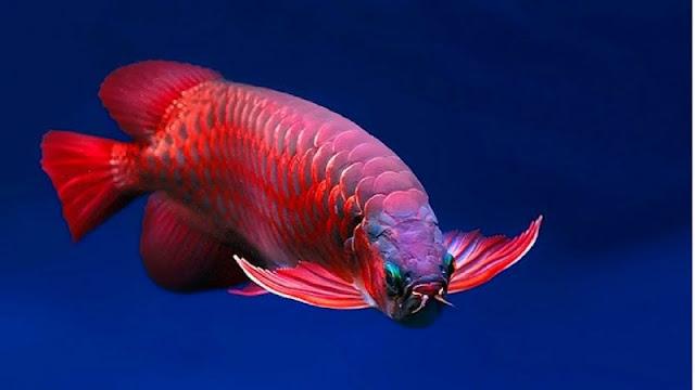 Menyediakan Supplier Jual Bibit Ikan Arwana Samarinda, Kalimantan Timur