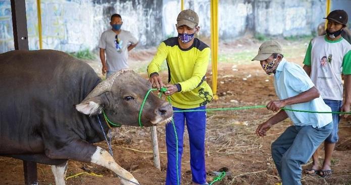 Pemotongan Sapi 'Tak Manusiawi' Jadi Sorotan Australia, Ulama Aceh Buka Suara