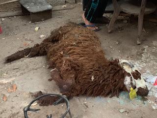 Belum Sempat Disembelih, Domba Kurban Ghazi Ditemukan Tewas