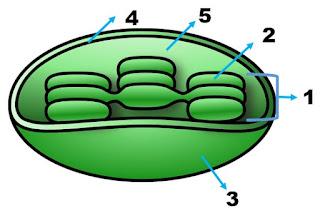 Jawaban Soal PG Biologi Bab 1 Sel, Buku Erlangga Kelas XI
