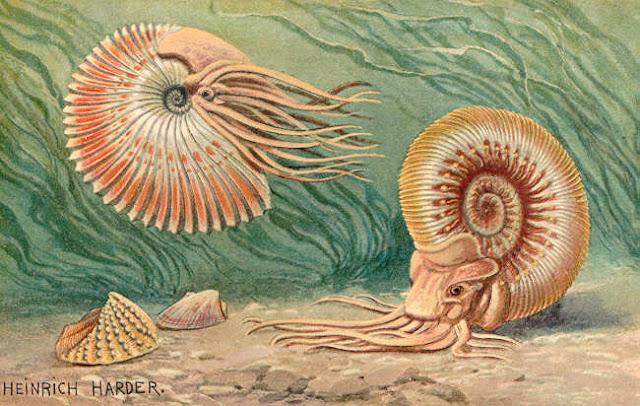 heinrich harder ammonites