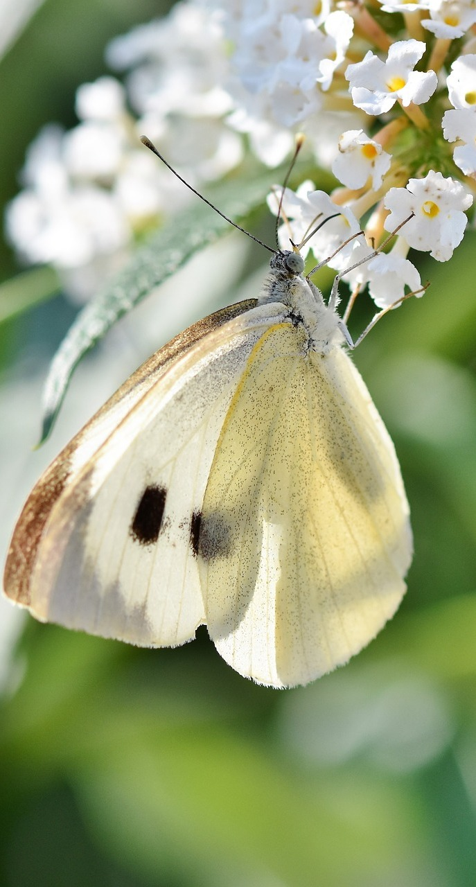 A white ling butterfly on a flower.