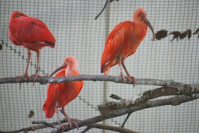 多摩動物公園のショウジョウトキ