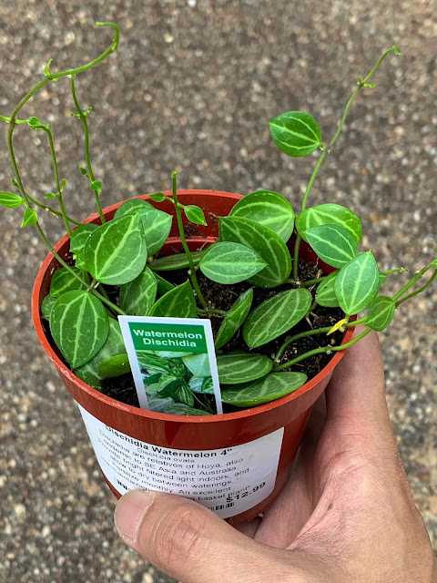 Watermelon Dischidia (Dischidia Ovata)