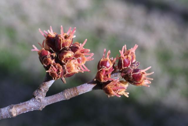 Suzy Homefaker Maple Seeds An Edible Treat