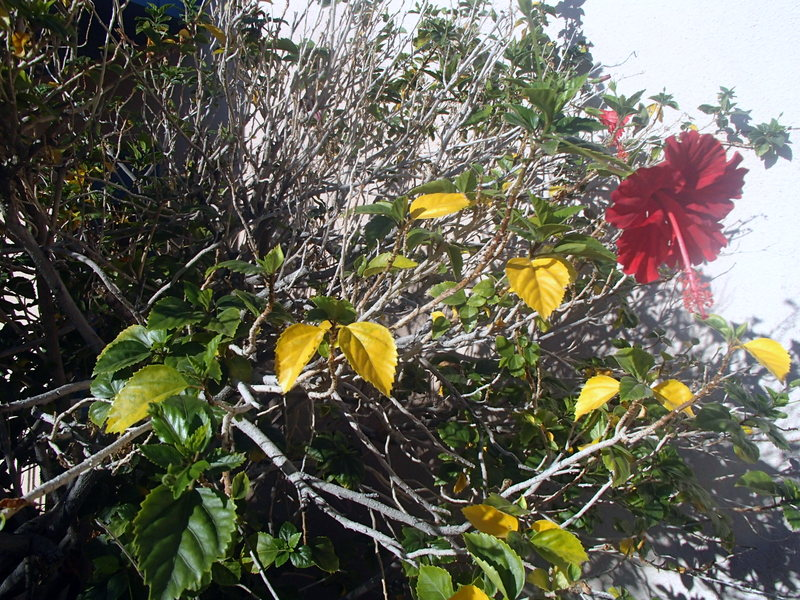 Xtremehorticulture Of The Desert Hibiscus Grows Differently In The