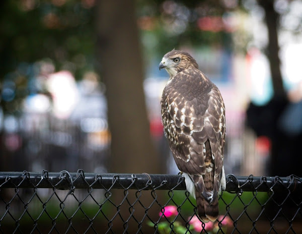 Tompkins Square red-tail fledgling 03