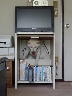 パソコン机の下に潜り込んだ白柴チロ①