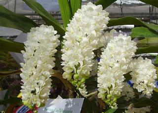lan ngọc điểm (Rhynchostylis gigantea) nở hoa vào tháng 2