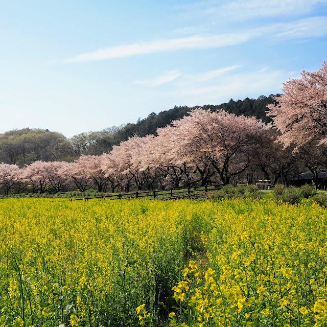 巾着田 桜 菜の花