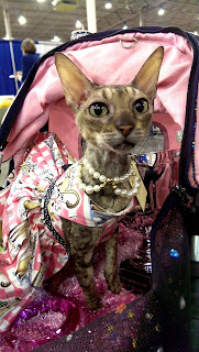 Coco the Cornish Rex in Pink Paris Dress