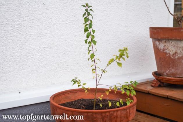 Kriecherl einige Monate nach der Keimung - Gartenblog Topfgartenwelt
