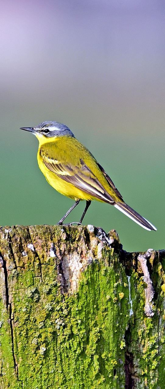 Picture of a western yellow wagtail bird.