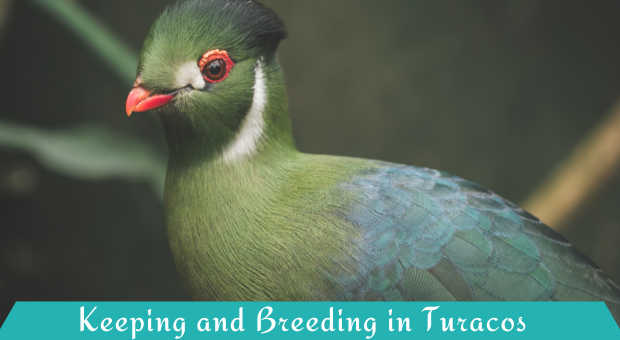 Keeping and Breeding in Turacos