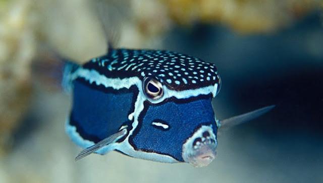 Gambar Ikan Boxfish - Budidaya Ikan