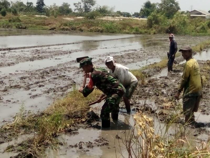 Anggota Koramil 10/Bangil Bantu Petani Melaksanakan Penggarapan Sawah