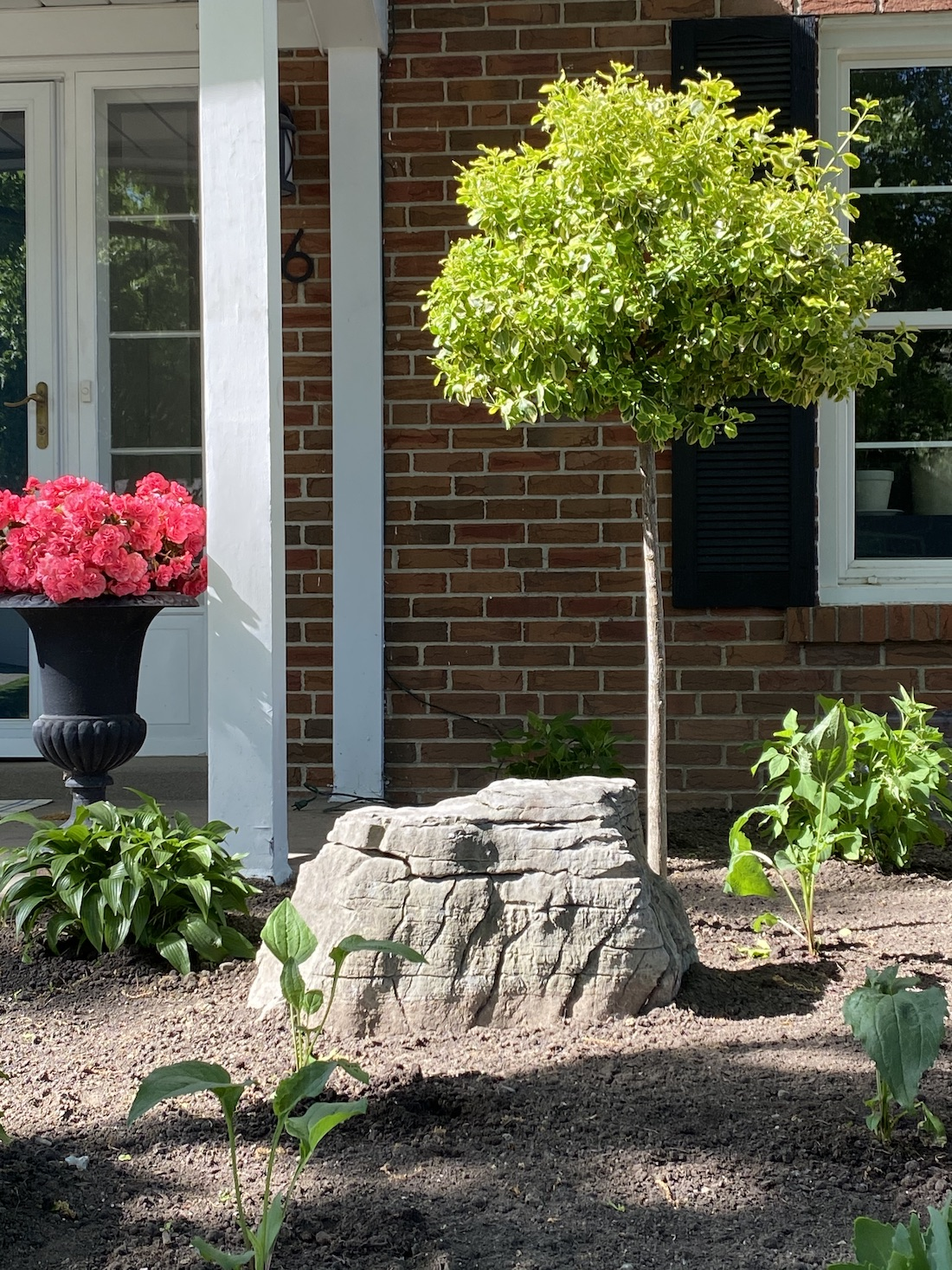 front garden euonymus standard