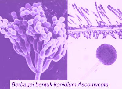 Lebih dari 600.000 spesies Ascomycota telah dideskripsikan. Tubuh jamur ini tersusun atas miselium dengan hifa bersepta. Pada umumnya jamur dari divisio ini hidup pada habitat air bersifat sebagai saproba atau patogen pada tumbuhan. Akan tetapi, tidak sedikit pula yang hidup bersimbiosis dengan ganggang membentuk Lichenes (lumut kerak).