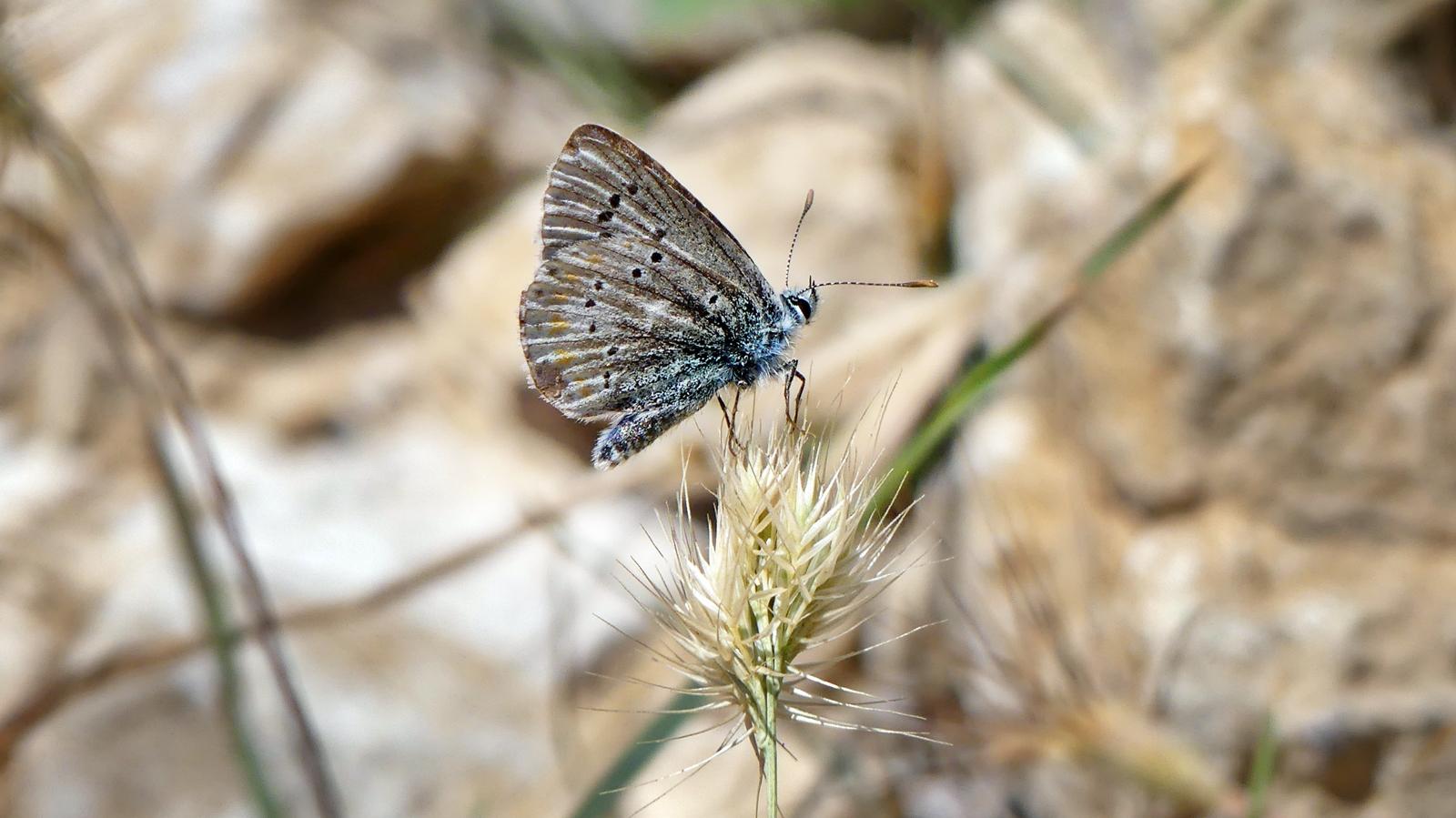 José Sebastián Estévez - Polyommatus dorylas